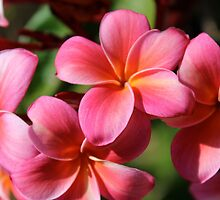 Pink Plumeria by Dee2west