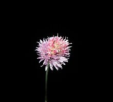 Chive flower at night (2) by Eleanor11