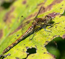 Dragonfly Basking by ajwimages