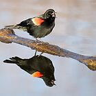 Red-winged Blackbird on log by Eivor Kuchta