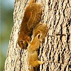 WHAT SQUIRRELS WILL DO ! THE TREE SQUIRREL- Paraaxerus cepapi  by Magaret Meintjes