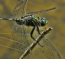 ▂ ▃ ▅ ▆ █ DRAGGIN THE LINE (DRAGONFLY) █ ▆ ▅ ▃ by ✿✿ Bonita ✿✿ ђєℓℓσ