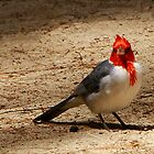 Red Cardinal in Hawaii  by Maureen Clark