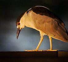 Night-Heron looking for breakfast by Eivor Kuchta
