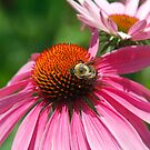 Cone flowers and bee by Dennis Cheeseman