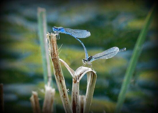 Familiar Bluet Damselfly Pair by Kimberly Chadwick