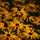 Yellow Daisy by Karen  Betts