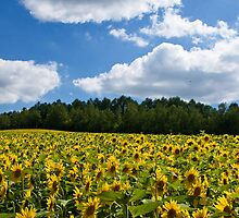 Sunflowers by jasonksleung