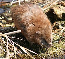 Muskrat Crossing a Marsh by rhamm