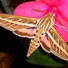 Hummingbird Moth by Dawn M. Becker