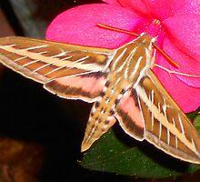 Hummingbird Moth by Dawn M. Becker