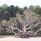Shackleford Island Tree Bones by goldnzrule