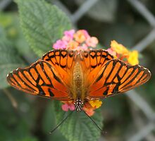 Orange and Black Butterfly on Pink Flower by rhamm