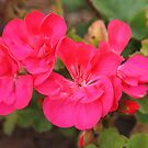 Hot Pink Geranium by Linda  Makiej