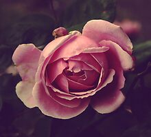 One rose _ Square by Marie Charrois