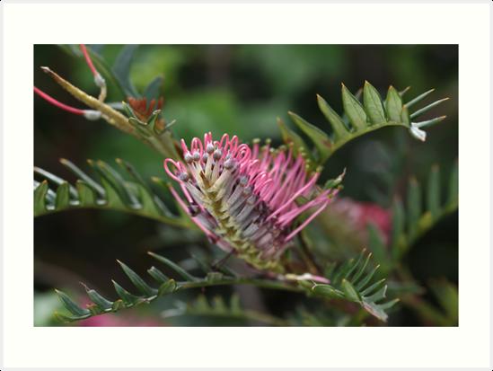 Pink Grevillea  by Joy Watson