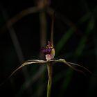 Wine Lipped Spider Orchid (Arachnorchis oenochila) by Rosie Appleton