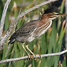 Green Heron by Dennis Cheeseman