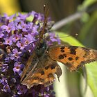 Comma on Buddleia by brianfuller75