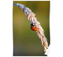 Ladybird on Grass Poster