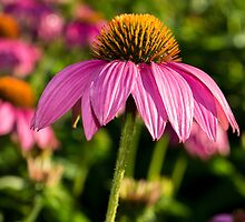 Coneflower 6 by Photopa