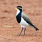 Banded Lapwing taken at Bowra Station, Cunumulla by Alwyn Simple