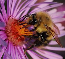 Bumblebee on New England Aster by Kane Slater