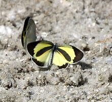 BARRED SULPHUR by TomBaumker
