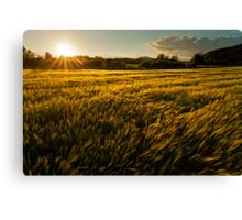 Wheat field at golden sunset Canvas Print