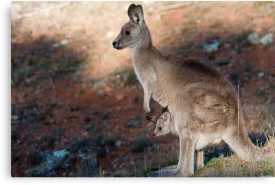 Kangaroo and joey by Steven Ralser
