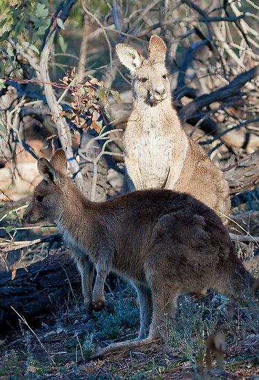 kangaroos by Steven Ralser