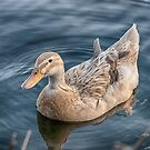 Duck 02 by Glen Allen