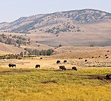 Bison in the Lamar Valley by ejlinkphoto