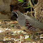 Gambels Quail ~ Male by Kimberly Chadwick