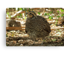 Masked Bobwhite Quail ~ Female Canvas Print