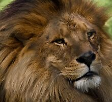 African lion by Chris Brunton