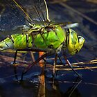 Female Emperor Dragonfly by Neil Bygrave (NATURELENS)