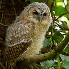 Tawny Owl Fledgling by Neil Bygrave (NATURELENS)