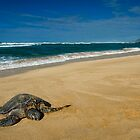 Green Sea Turtle, Oahu by Michael Treloar