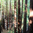 Muir Woods II by Miriam Gordon