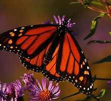 Monarch on New England Aster #3 by Kane Slater
