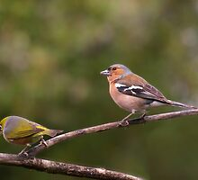 Dear, I still love you even if you do look different !  Chaffinch and Silver Eye. by Roy  Massicks