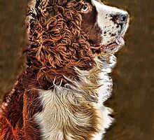 Springer Spaniel by wallarooimages