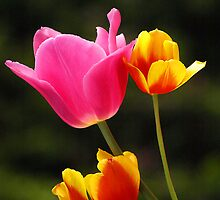 Pink, Orange & Yellow Tulips by Bev Pascoe
