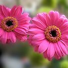 Pretty Pair - Blush Pink Gerbera Daisies (For Evita) by BlueMoonRose