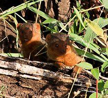 Dwarf Mongoose  -  Central Seregeti Tanzania by john  Lenagan