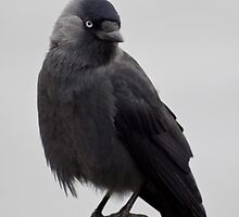 Jackdaw by Country  Pursuits