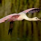 Spoonbill in Flight (as the Sun Sets) by imagetj