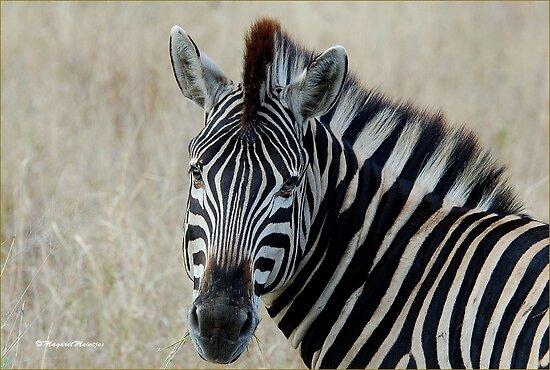 IN PORTRAIT THE BURCHELL'S ZEBRA – Equus burchelli – Bontkwagga by Magaret Meintjes