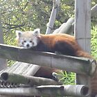 Red panda by Caroline Clarkson